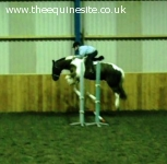 14.2hh irish cob fun all-rounder
