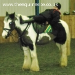 14.2hh irish cob safe hack/all-rounder