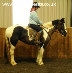 14.3hh pretty irish cob mare all-rounder