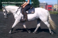 14hh 7 Year old Connemara Mare
