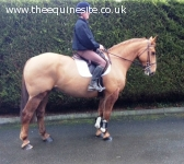 15.3hh quality reg irish draft, all-rounder
