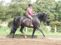 Sir Solstice 168cm (16.2hh)