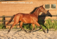 2013 Bay Colt by St Moritz junior