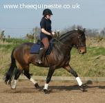 Crackenthorpe Sensation 158cm (15.2hh)