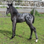 Knabstrupper Pony, Filly Foal by Thore Vom Pferdehof