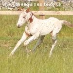 Knabstrupper Colt Foal (Thore Vom Pferdehof x Weltmeyer)
