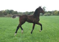 Dressage filly by Floriscount