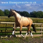 MALEGRO - WARMBLOOD BUCKSKIN STALLION