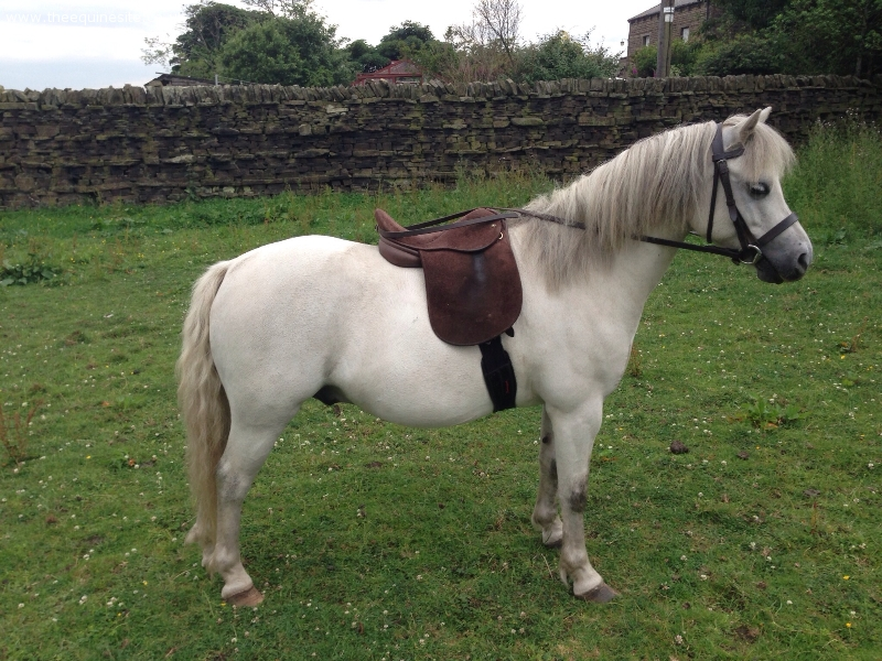 The Equine Site - Native Ponies - 11.2 Welsh section A ...