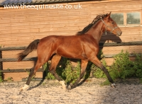 2013 dressage bred filly by Floriscount