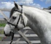 Eastlands Hollybrae, Class 1 Connemara Stallion