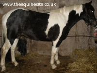 3yro Coloured Gelding
