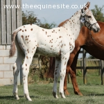 Knabstrupper Colt Foal - SOLD