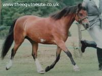 Reg Section A Bay Mare, Rising 11, 11.3hh