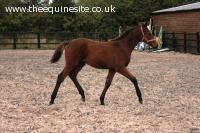 Smart dressage bred bay colt