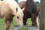 Horses drinking from water trough.