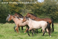 Youngsters by the Criollo Stallion Arrayan Numa